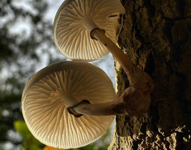 mushrooms growing on trees