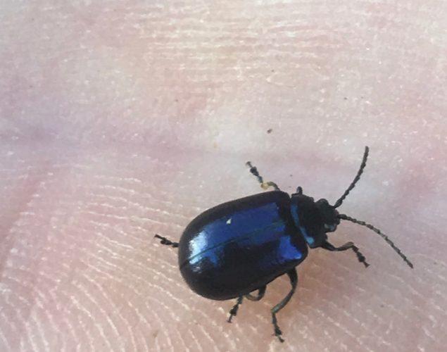 small blue beetle