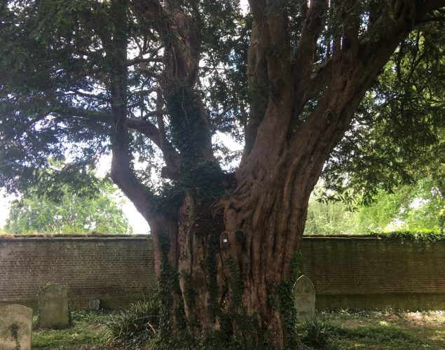 old, large tree in graveyard