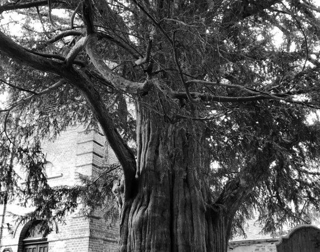 old tree in graveyard