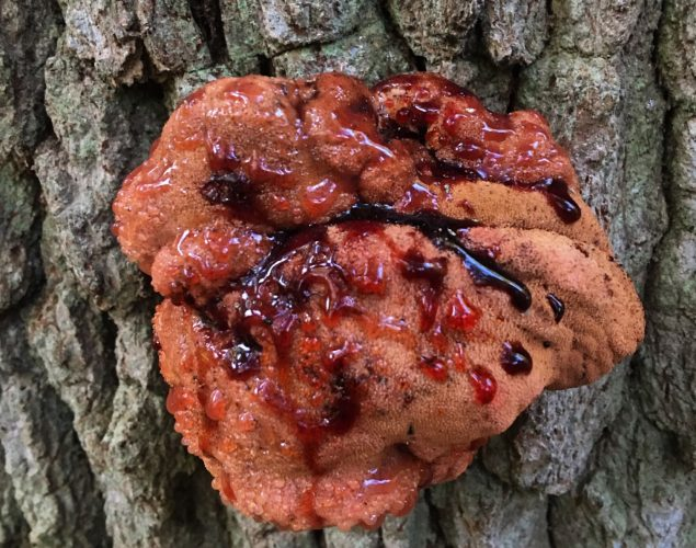 tree with red fungus that looks like its bleeding
